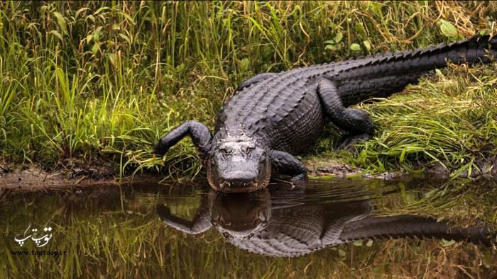 عکس تمساح بزرگ