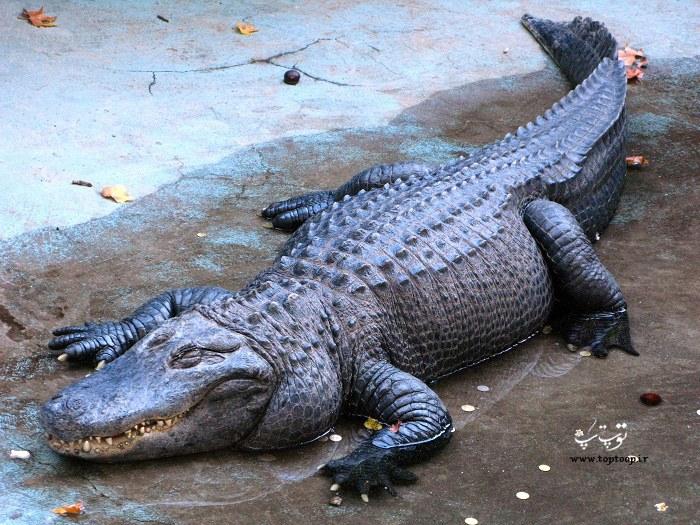 عکس تمساح های غول پیکر