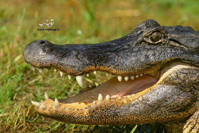 دانلود عکس تمساح