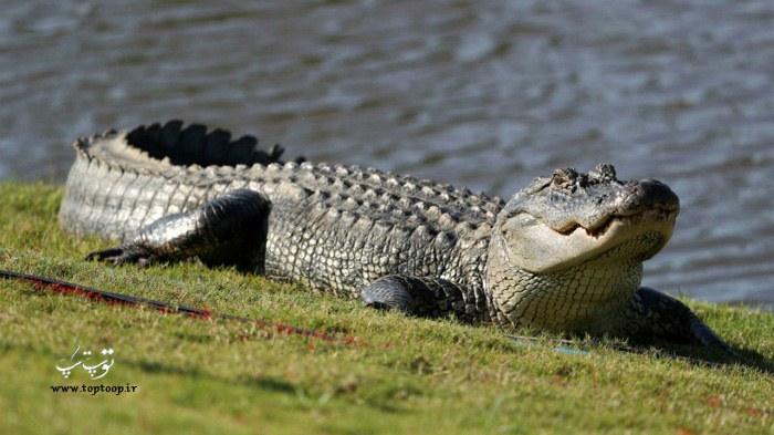 عکس تمساح واقعی