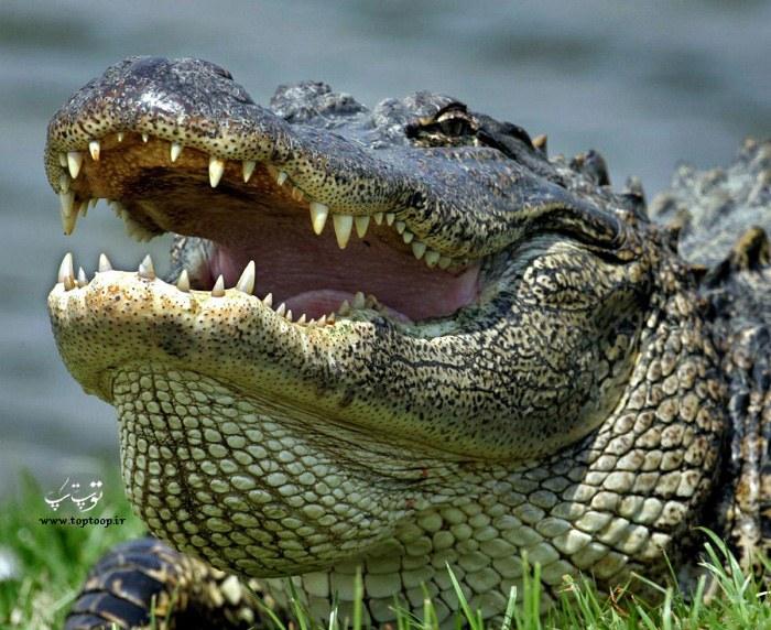 عکس تمساح وحشی