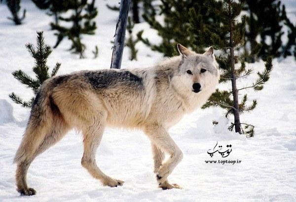 تحقیق درباره گرگ ایرانی ، مقاله کوتاه در مورد زندگی گرگ ها