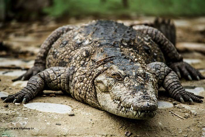 آلبوم عکس تمساح مناسب برای پس زمینه
