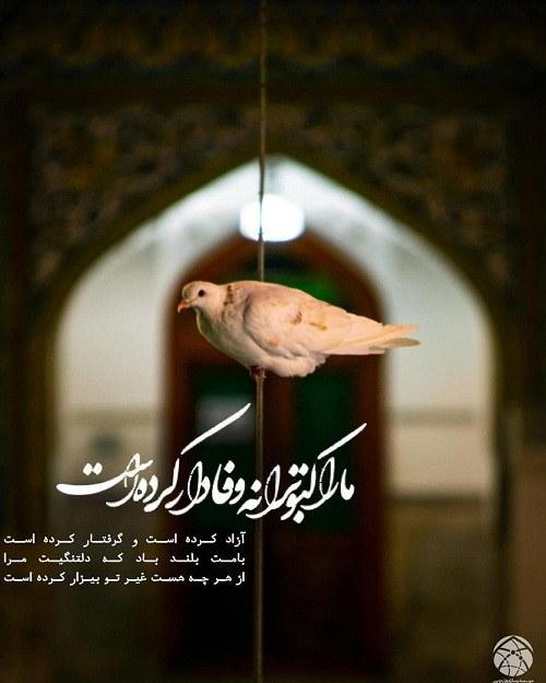 عکس کبوتر امام رضا