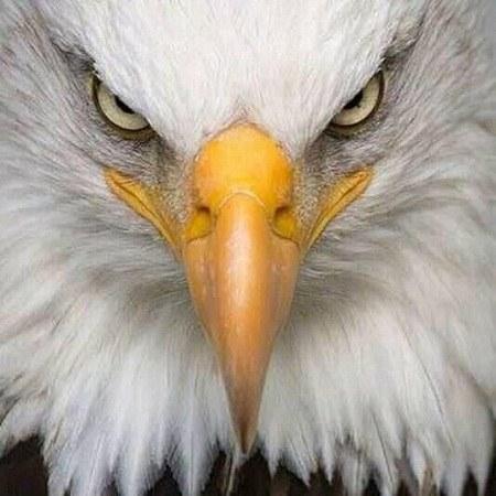 عکسهای عقاب برای پروفایل