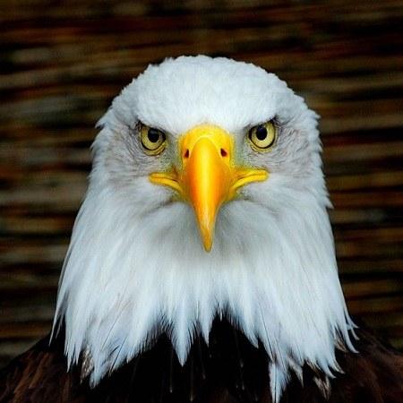 عکس عقاب زیبا برای پروفایل