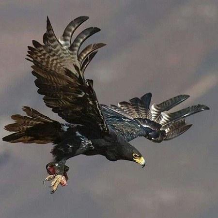 عکس پروفایل عقاب