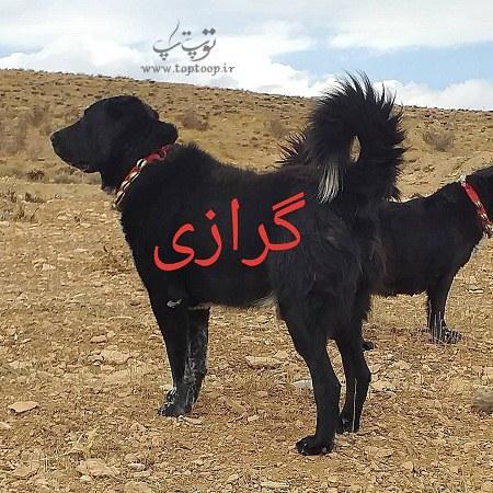 عکس سگ نگهبان قهدریجانی