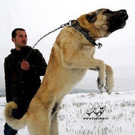 گالری عکس سگ های نگهبان