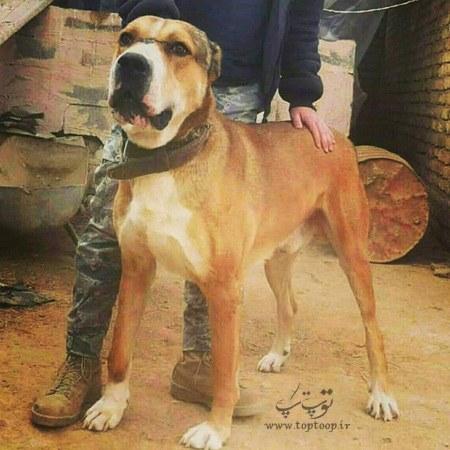 سگ نگهبان نژاد اصیل
