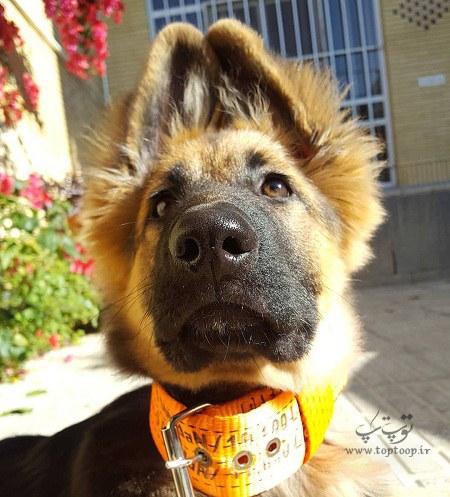 عکس توله سگ نگهبان وحشی