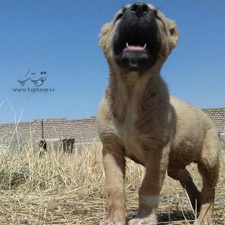 عکس توله سگ های نگهبان