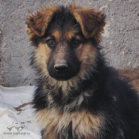 عکس های برتر از سگ های نگهبان