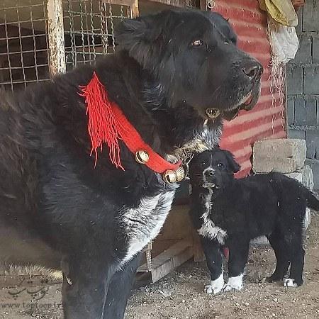 عکس توله سگ نگهبان قهدریجانی