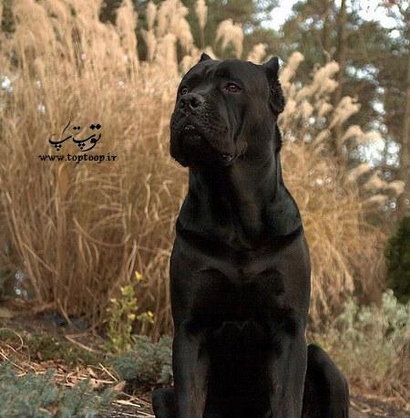 عکس سگ نگهبان مشکی و خطرناک