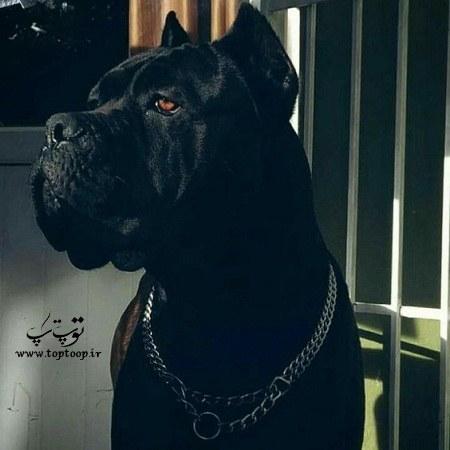 عکس سگ نگهبان قلاده دار