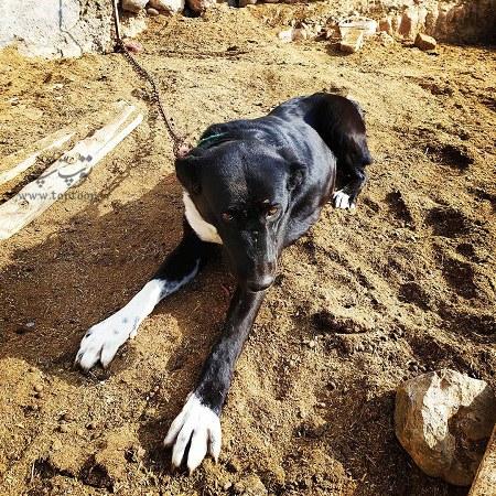 عکس سگ نگهبان مزرعه