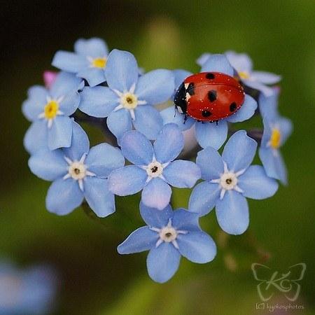 عکس کفشدوزک و گل های قشنگ