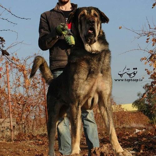 عکس سگ ترسناک و بزرگ