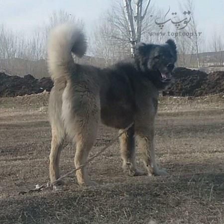 اشعار قشنگ راجب سگ گله