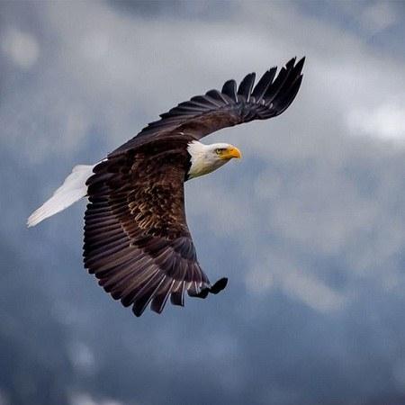 عکس عقاب سر سفید برای پروفایل