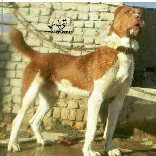 عکس سگهای پر ابهت و غول پیکر