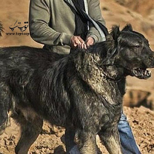 عکس سگ خونخوار