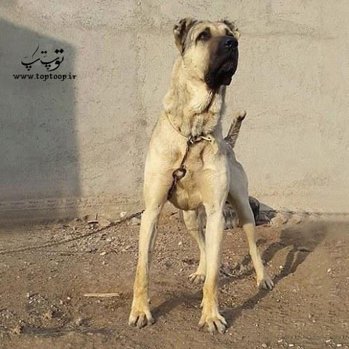 عکس سگ بزرگ سرابی