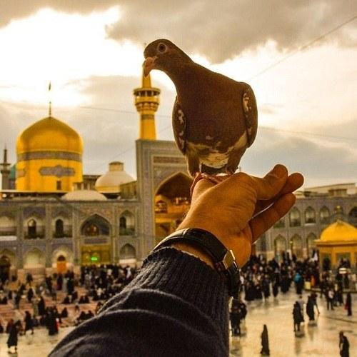 عکس امام رضا و کبوتر برای پروفایل