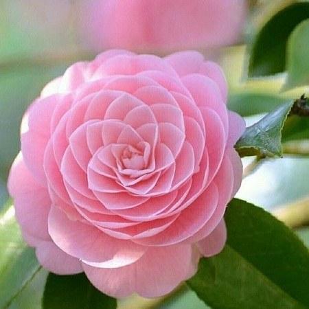 عکس پروفایل گل صورتی زیبا