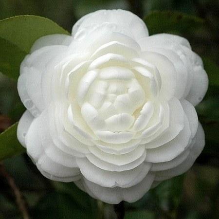 عکس پروفایل گل سفید قشنگ