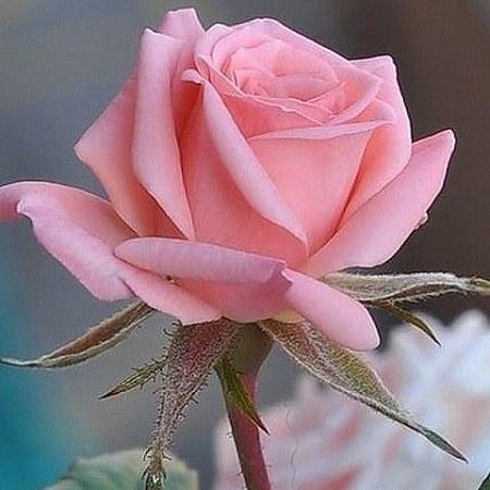 عکس گل های خوشگل واسه پروفایل