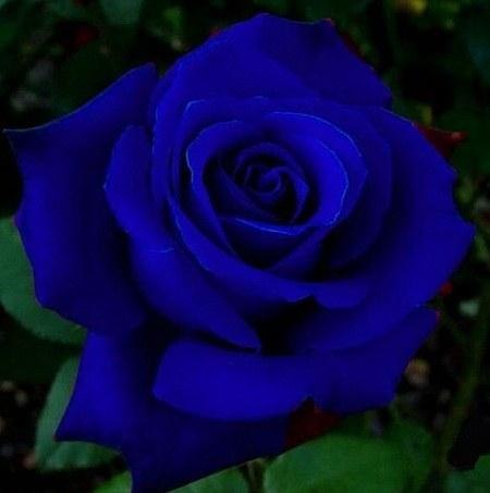 عکس پروفایل گل رز آبی