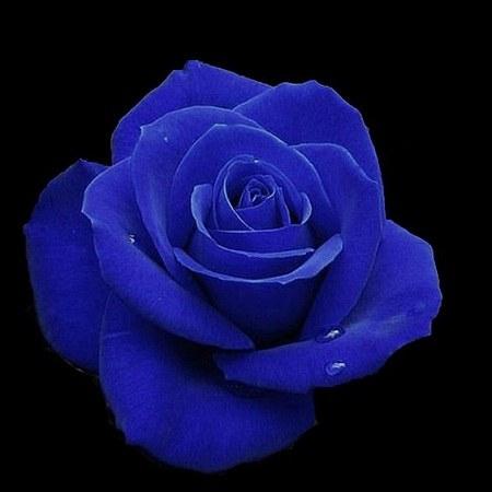 عکس گل آبی ناز برای پروفایل