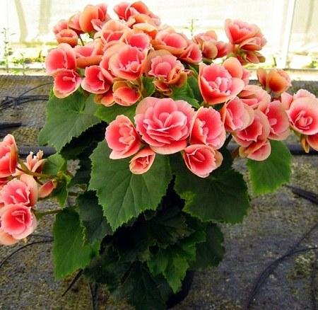 عکس گل شمعدونی برای پروفایل