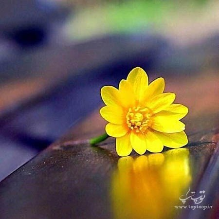 عکس پروفایل گل زرد رنگ