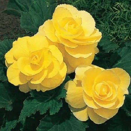 عکس گل رز زرد برای پروفایل